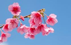 Der Abschluss oben von Kirschblüte blüht Blüte Stockfoto