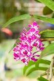 Der Abschluss oben von Rhynchostylis Orchidee Stockfotografie