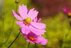 Der Abschluss oben von rosa Kosmosblumen Lizenzfreies Stockbild