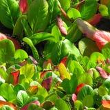Der abstrakte Hintergrund Die roten und grünen Blätter des Bergenia Lizenzfreies Stockfoto