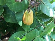 Der Acajoubaum Stockbild