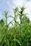 Der acanthoides Carduus L - Straßenranddistel Stockfotografie