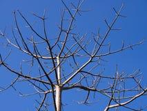 Der Adenium ohne Blätter Lizenzfreie Stockfotografie