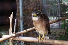 Der Adler auf getrocknetem Bambus scharf anstarrend zum Opfer im Zoo Lizenzfreie Stockfotografie