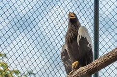 Der Adler, der auf der Niederlassung steht Stockfotografie