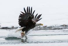 Der Adler, der oben über Wasser mit dem Opfer fliegt Lizenzfreie Stockbilder