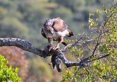 Der Adler der weiblichen bonellis gehockt auf einer Niederlassung Lizenzfreie Stockbilder