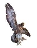 Der Adler fing einen Hasen Lizenzfreie Stockfotos