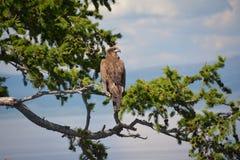 Der Adler hockte auf der Niederlassung einer Lärche in der Steppe auf dem Hintergrund von See Hovsgol Lizenzfreie Stockfotografie