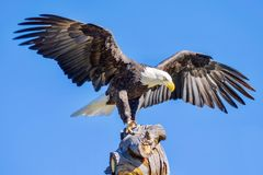 Der Adler ist gelandet Stockfotografie