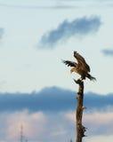 Der Adler ist gelandet! Weiß angebundener Adler mit angehobenen Flügeln Lizenzfreie Stockfotos