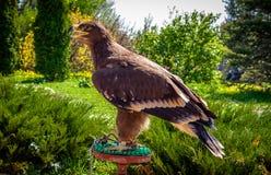 Der Adler sitzt auf dem Tisch Lizenzfreie Stockfotos