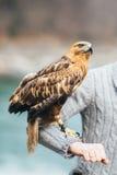 Der Adler sitzt auf der Hand des Mannes Stockbild