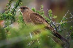 Der Adler sitzt auf einem Baumast Shevelev Lizenzfreie Stockfotos