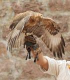 Der Adler sitzt auf einer Hand Stockfotos