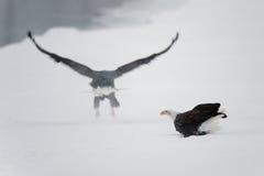 Der Adler sitzt auf Schnee auf dem gefrorenen Fluss, Stockfotos