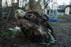 Der Adler sitzt aus den Grund Stockfoto