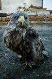 Der Adler sitzt aus den Grund Lizenzfreie Stockfotografie