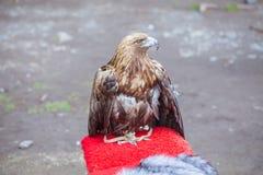 Der Adler sitzt in der Gefangenschaft Lizenzfreies Stockfoto