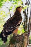 Der Adlerfall im Wald von Oguz-distrikt Lizenzfreie Stockfotografie