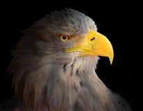 Der Adlerkopf. Lizenzfreie Stockfotos