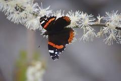 Der Admiralsschmetterling auf einer Blume Lizenzfreie Stockfotos