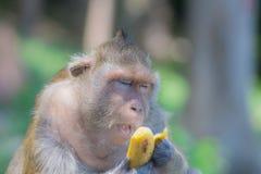 Der Affe öffnet seinen Mund beim Essen einer Banane Lizenzfreies Stockfoto