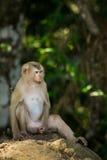 Der Affe Stockbilder