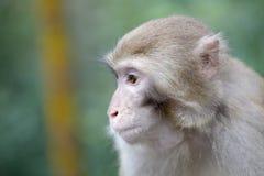 Der Affe Lizenzfreie Stockfotografie