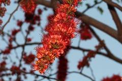 Der Affe-Blumen-Baum Lizenzfreie Stockfotos