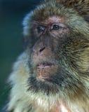 Der Affe, das Barbary-Makaken Macaca sylvanus Stockfotos