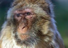 Der Affe, das Barbary-Makaken Macaca sylvanus Lizenzfreies Stockbild