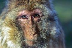 Der Affe, das Barbary-Makaken Macaca sylvanus Stockfoto
