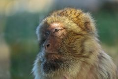 Der Affe, das Barbary-Makaken Macaca sylvanus Lizenzfreie Stockfotografie