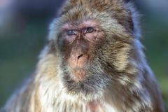 Der Affe, das Barbary-Makaken Macaca sylvanus Lizenzfreie Stockbilder
