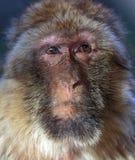 Der Affe, das Barbary-Makaken Macaca sylvanus Stockfotografie