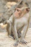 Der Affe, der auf dem Felsen sitzt Stockbilder
