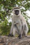 Der Affe, der auf einem Felsen auf Masai Mara Park sitzt Stockfotos
