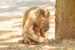 Der Affe, der den Babyaffen hält, essen Reissamen Stockfotos