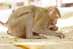 Der Affe, der den Babyaffen hält, essen Reissamen Stockfoto
