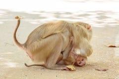 Der Affe, der den Babyaffen hält, essen Reissamen Lizenzfreies Stockbild