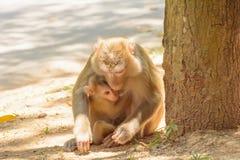 Der Affe, der den Babyaffen hält, essen Reissamen Lizenzfreie Stockfotos