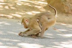 Der Affe, der den Babyaffen hält, essen Reissamen Stockbild