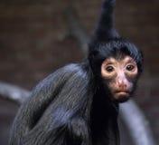 Der Affe, der die Kamera betrachtet Stockfotografie