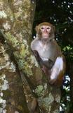 Der Affe, der entlang der Besucher anstarrt Lizenzfreie Stockbilder