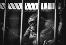 Der Affe, der im Käfig sitzt Lizenzfreies Stockbild