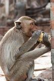 Der Affe, der Mais isst Lizenzfreies Stockbild