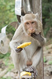 Der Affe, der Mango isst Stockfoto