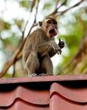 Der Affe der wild lebenden Tiere, der Lebensmittel von der Plastiktasche isst, schloss zum Abfall, Brunei Stockfotos