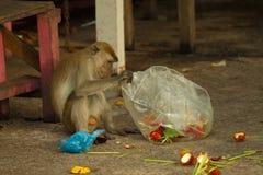 Der Affe der wild lebenden Tiere, der Lebensmittel von der Plastiktasche isst, schloss zum Abfall, Brunei Lizenzfreie Stockfotografie